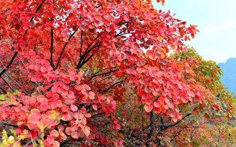 秋沟的红叶